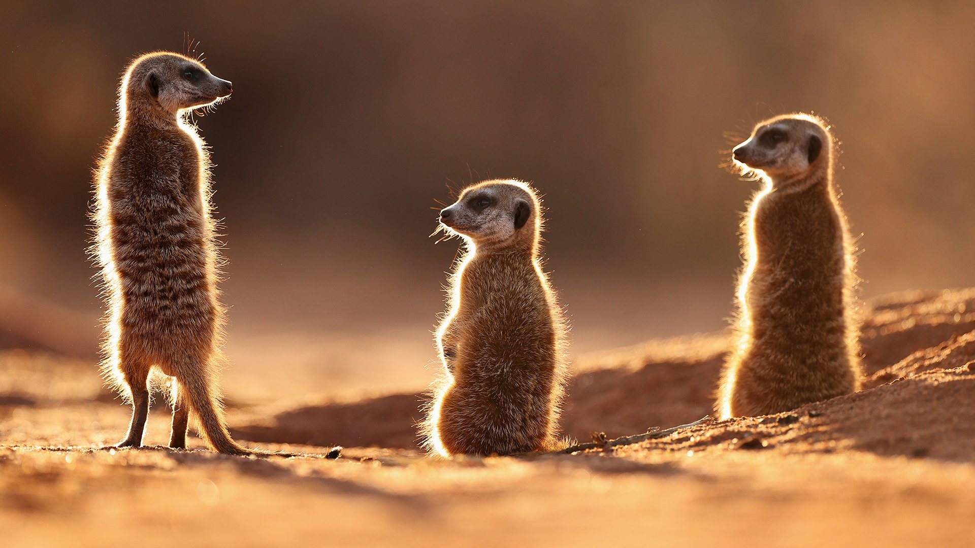 Meerkats shot in Kalahari